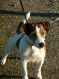 BAMBOU Jack Russel