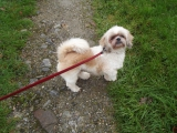 HARRY Shih Tzu