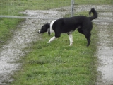 JAZZY Border Collie